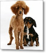 Red Toy Poodle And Cavalier King Metal Print