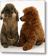 Red Toy Poodle Pup With A Lionhead Metal Print