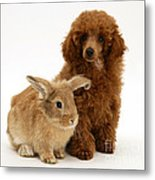Red Toy Poodle Pup With Lionhead-cross Metal Print