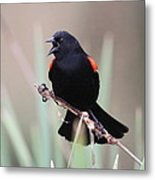 Red-winged Blackbird - Are You Listening Metal Print