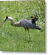 Red-winged Blackbird Attacking Great Blue Heron Metal Print