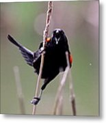 Red-winged Blackbird - Can You Hear Me Now Metal Print