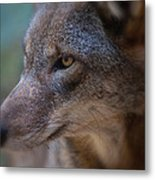 Red Wolf Stare Metal Print
