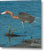 Reddish Egret Hunting Metal Print