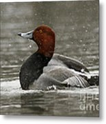 Redhead Duck Flapping Its Wings Metal Print
