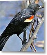 Redwinged Blackbird I Metal Print