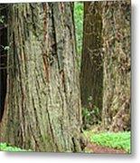 Redwood Trees Art Prints Big California Redwoods Metal Print
