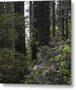 Redwoods 3 Metal Print