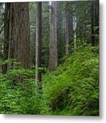 Redwoods Along Ossagon Trail Metal Print