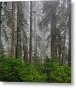 Redwoods In Breaking Mists Metal Print