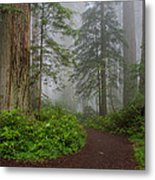 Redwoods Rising In Fog Metal Print