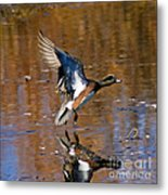 Reflecting Duck Metal Print
