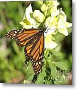 Monarch Butterfly Feeding On A Cluster Of Yellow Flowers Metal Print