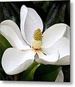 Regal Southern Magnolia Blossom Metal Print