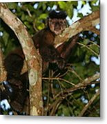 Relaxed - Brown Capuchin Metal Print