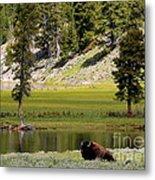 Resting Buffalo By Pond Metal Print