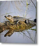 Resting Gator Metal Print