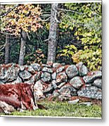 Resting Hereford Metal Print