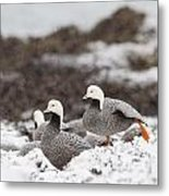 Resting In The Snow Metal Print