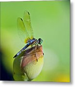 Resting On A Lily Metal Print by Lisa  Spencer