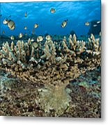 Reticulate Humbugs Gather Under Stone Metal Print