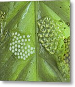 Reticulated Glass Frogs And Eggs Metal Print