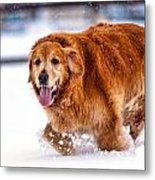 Retriever Running In Snow Metal Print by Matt Dobson