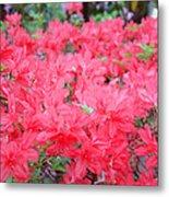 Rhodies Art Prints Pink Rhododendrons Floral Metal Print