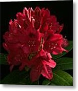 Rhododendron At Sunset 2 Metal Print