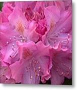 Rhododendron Bloom Metal Print