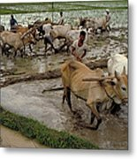 Rice Cultivation Metal Print