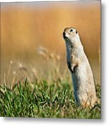 Richardson's Ground Squirrel Metal Print