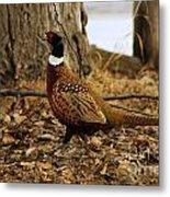 Ring-necked Pheasant Metal Print