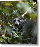 Ring-tailed Lemur In A Tree Metal Print