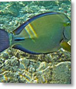 Ringtail Surgeonfish Metal Print by Michael Peychich