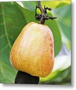 Ripe Cashew Nut Metal Print