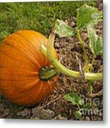 Ripe Pumpkin Metal Print
