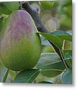 Ripening Pear In Tree Metal Print