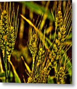Ripening Wheat Metal Print