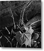 River Bed Sycamore Leaf Metal Print