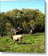 Roaming Elk  Metal Print by The Kepharts