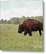 Roaming The Plains Metal Print