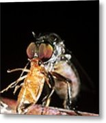 Robber Fly Feeding On A Cockroach Metal Print by Dr Morley Read