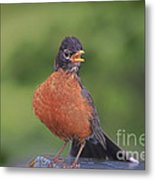 Robin In Distress Metal Print by Deborah Benoit