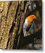 Robin On Tree Metal Print