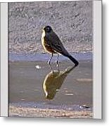 Robin Reflection Metal Print
