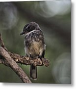 Robin Top-End Australia Metal Print
