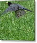 Robin With A Low Level Approach Metal Print