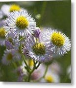 Robin's Plantain - Alabama Wildflowers Metal Print