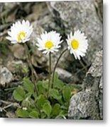 Rock-plant Daisy (bellis Margaraetifolia) Metal Print